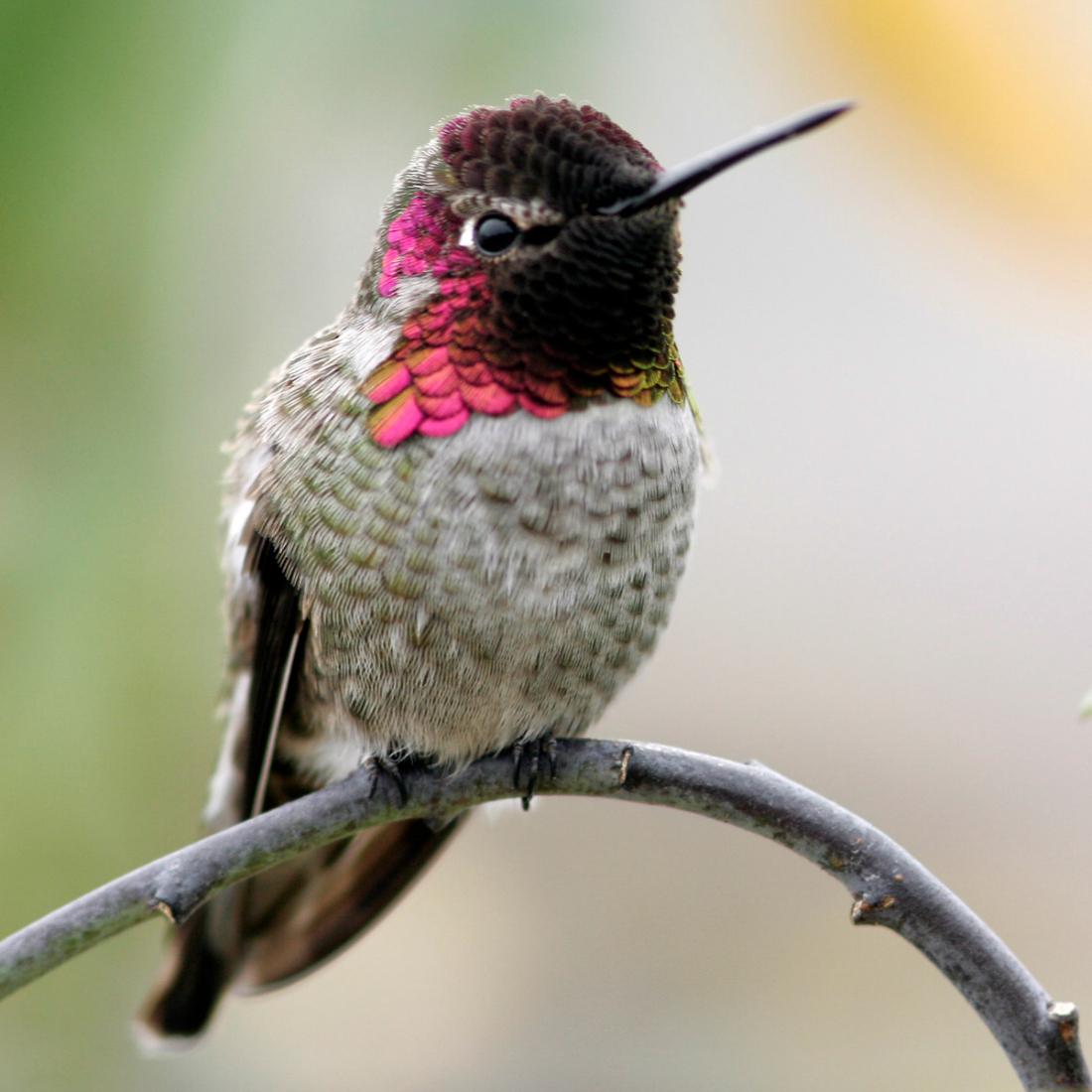 hummingbird-n